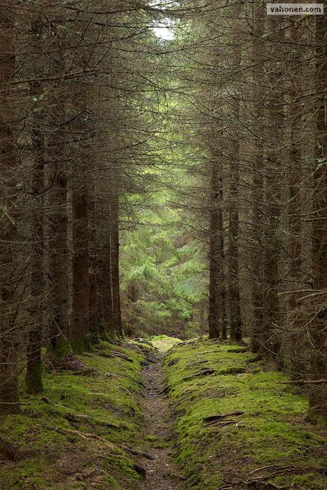 Kyynärö spruce alley