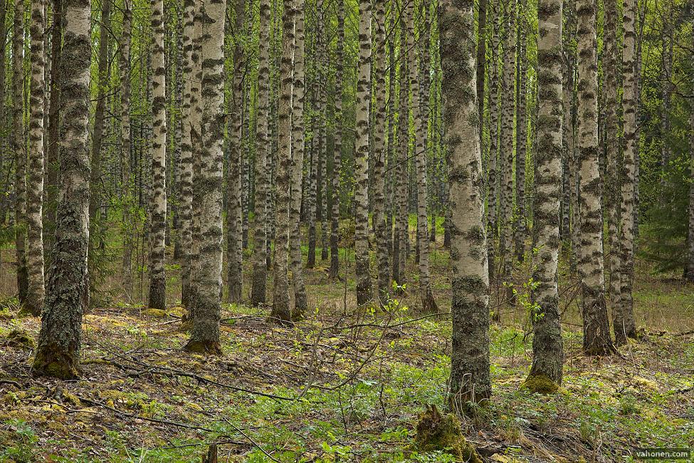 Kyynärö birches