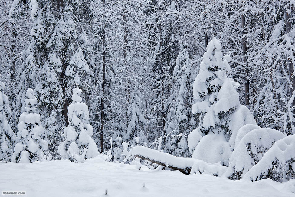 Snowy Woods 1